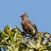 Red-faced Mousebird - Photo (c) martine179, some rights reserved (CC BY-NC)