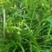 Carex corrugata - Photo (c) Eric Keith,  זכויות יוצרים חלקיות (CC BY-NC)