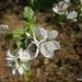 Swertia densifolia - Photo (c) Avishkar Munje,  זכויות יוצרים חלקיות (CC BY-NC)
