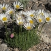 Compact Daisy - Photo (c) Jim Morefield, some rights reserved (CC BY)