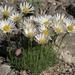 Erigeron compactus - Photo (c) Jim Morefield, μερικά δικαιώματα διατηρούνται (CC BY)