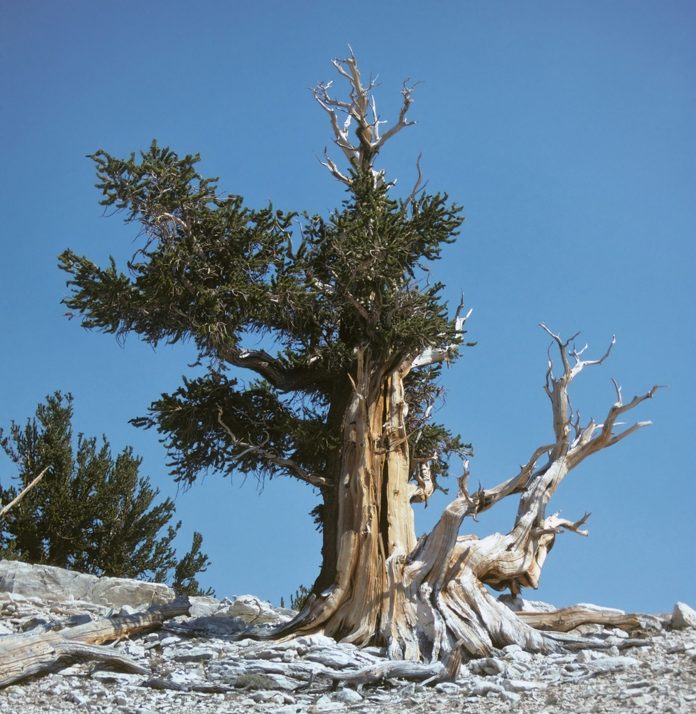 Great Basin Bristlecone Pine - Photo (c) Jim Morefield, some rights reserved (CC BY)