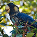 Carnaby's Black-Cockatoo - Photo (c) lewishart, some rights reserved (CC BY-NC)