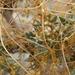 Cuscuta californica - Photo (c) Jim Morefield, algunos derechos reservados (CC BY)