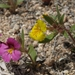 Skunky Monkeyflower - Photo (c) Jim Morefield, some rights reserved (CC BY)