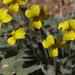 Viola purpurea aurea - Photo (c) Jim Morefield, algunos derechos reservados (CC BY)