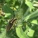 Agapanthia pustulifera - Photo (c) Uriah Resheff, algunos derechos reservados (CC BY-NC)