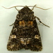 Otter Spiramater Moth - Photo (c) Dick, some rights reserved (CC BY-NC-SA)