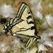 Papilio canadensis - Photo (c) Joanne Redwood, μερικά δικαιώματα διατηρούνται (CC BY-NC)