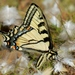 Canadian Tiger Swallowtail - Photo (c) Joanne Redwood, some rights reserved (CC BY-NC)