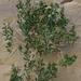 Xylorhiza orcuttii - Photo (c) Anita, algunos derechos reservados (CC BY-NC-SA)