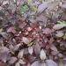 Alternanthera brasiliana - Photo (c) chelina batista, osa oikeuksista pidätetään (CC BY-NC)