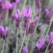Lavender - Photo (c) Steven Kurniawidjaja, some rights reserved (CC BY-NC)