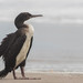 Guanay Cormorant - Photo (c) rolaelviento, some rights reserved (CC BY-NC)