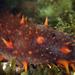 Apostichopus californicus - Photo (c) Karolle Wall, algunos derechos reservados (CC BY-NC)