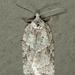 Acleris placidana - Photo (c) Tom Murray, μερικά δικαιώματα διατηρούνται (CC BY-NC)