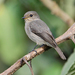 African Dusky Flycatcher - Photo (c) Nik Borrow, some rights reserved (CC BY-NC)