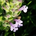 Reverchon's False Pennyroyal - Photo (c) Eric Keith, some rights reserved (CC BY-NC)