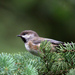 Boreal Chickadee - Photo (c) Marv Elliott, some rights reserved (CC BY-NC)