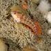 Blenniidae - Photo (c) Bernard Picton, algunos derechos reservados (CC BY)