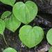 Peperomia urocarpoides - Photo (c) Luis Alberto, algunos derechos reservados (CC BY-NC)