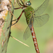 Comet Darner - Photo (c) Eric Isley, some rights reserved (CC BY-NC)