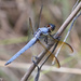 Yellow-sided Skimmer - Photo (c) Greg Lasley, some rights reserved (CC BY-NC)