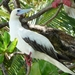 Red-footed Booby - Photo (c) Drew Avery, some rights reserved (CC BY), uploaded by drew_avery