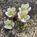 Ranunculus andersonii - Photo (c) Corey Lange,  זכויות יוצרים חלקיות (CC BY-NC)
