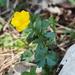 Ranunculus montanus - Photo (c) lukasdiehl, algunos derechos reservados (CC BY-NC)