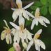 Moringa de la India - Photo (c) Peter Hollinger, algunos derechos reservados (CC BY-NC)