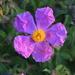 Cistus creticus eriocephalus - Photo (c) Anne Parsons,  זכויות יוצרים חלקיות (CC BY-NC)