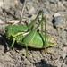 Anabrus longipes - Photo (c) James Miskelly, algunos derechos reservados (CC BY-NC)