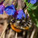 Schrenck's Bumble Bee - Photo (c) Alexey Zyryanov, some rights reserved (CC BY-NC)