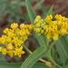 Asclepias barjoniifolia - Photo (c) Santiago, algunos derechos reservados (CC BY-NC)