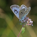 Large Blue - Photo (c) Anne SORBES, some rights reserved (CC BY-NC-SA), uploaded by Anne Sorbes