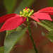Poinsettia - Photo (c) ConsultasAmbientales, some rights reserved (CC BY-NC)