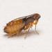 Ctenocephalides felis - Photo (c) Justin Williams, μερικά δικαιώματα διατηρούνται (CC BY-NC)