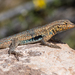 Common Side-blotched Lizard - Photo (c) David Kaposi, some rights reserved (CC BY-NC)