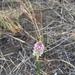 Polygala hygrophila - Photo (c) Rodolfo Flores, algunos derechos reservados (CC BY-NC)