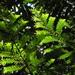 Retrophyllum rospigliosii - Photo (c) Mateo Hernandez Schmidt, osa oikeuksista pidätetään (CC BY-NC-SA)