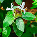 Barleria albostellata - Photo (c) Lyle Conrad,  זכויות יוצרים חלקיות (CC BY-NC)