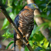 Hook-billed Kite - Photo (c) Cláudio Dias Timm, some rights reserved (CC BY-NC-SA)