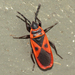 Mediterranean Red Bug - Photo (c) Chris Mallory, some rights reserved (CC BY-NC)