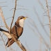 Yellow-billed Cuckoo - Photo (c) Carlos Sanchez, some rights reserved (CC BY-NC)