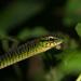 Rhamnophis aethiopissa - Photo (c) Oskar Brattström, alguns direitos reservados (CC BY-NC)