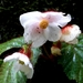Begonia cathcartii - Photo (c) Phuentsho, algunos derechos reservados (CC BY-NC-SA)