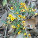Yellow Bossiaea - Photo (c) megatherium, some rights reserved (CC BY-NC-ND), uploaded by sea-kangaroo