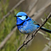 Malurus splendens - Photo (c) David Cook, μερικά δικαιώματα διατηρούνται (CC BY-NC)