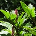 Hawai'i Pokeweed - Photo (c) kathawk, some rights reserved (CC BY-NC)